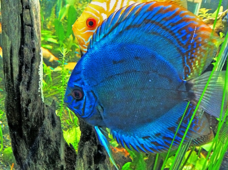 Discus Fish For Sale Virginia List Of Freshwater Aquarium Fish Species List Of Freshwater